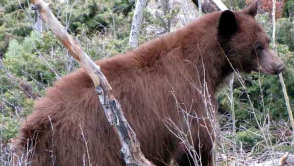 A black bear has been sighted in Butler County, according to Butler County Sheriff Kenny Harden. The black bear is the smallest of the North American bears. Black bears exhibit several different color phases.  The most common color is black, from which they draw their names.  Other color phases include brown, cinnamon (reddish-brown), blond and even white in isolated coastal areas of British Columbia. (Photo courtesy of Lyle Willmarth/ADCNR)