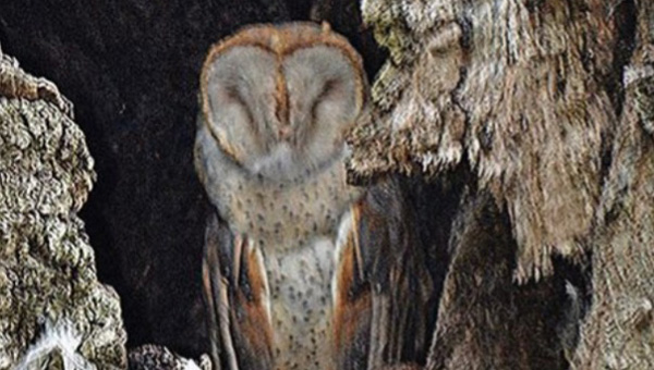 A barn owl is calling a hollowed-out tree on Hamilton Street home. (Photo Courtesy of Allen Stephenson)