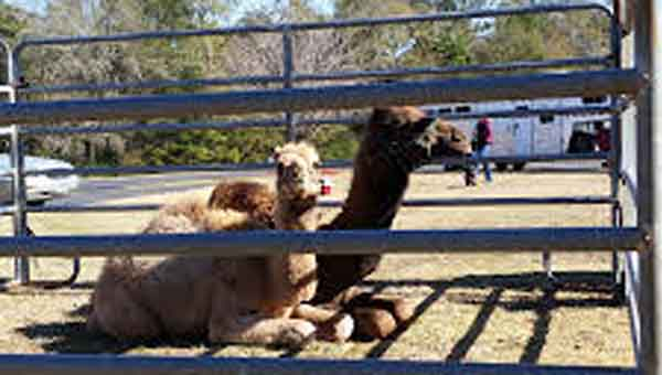 CONTRIBUTED PHOTO Baby camels Henry and Henrietta will visit the library Jan. 12.
