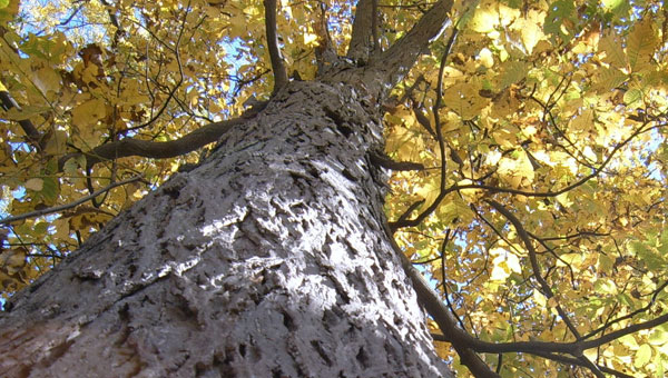 A red hickory tree in Butler County was crowned state champion, courtesy of officials with the Alabama Forestry Commission.  The tree is also a likely candidate for national recognition.