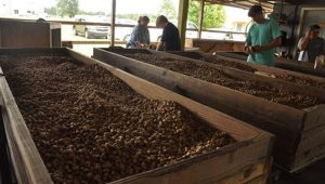 This year approximately 25 tons of green peanuts were ordered, as well as one ton of dried peanuts.